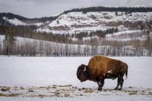 bison in yukon, online gambling in yukon, online gambling yukon