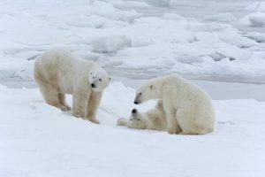 polar bears in Manitoba, online gambling in manitoba