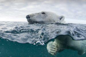 a polar bear swims in Nunavut, online gambling in Nunavut